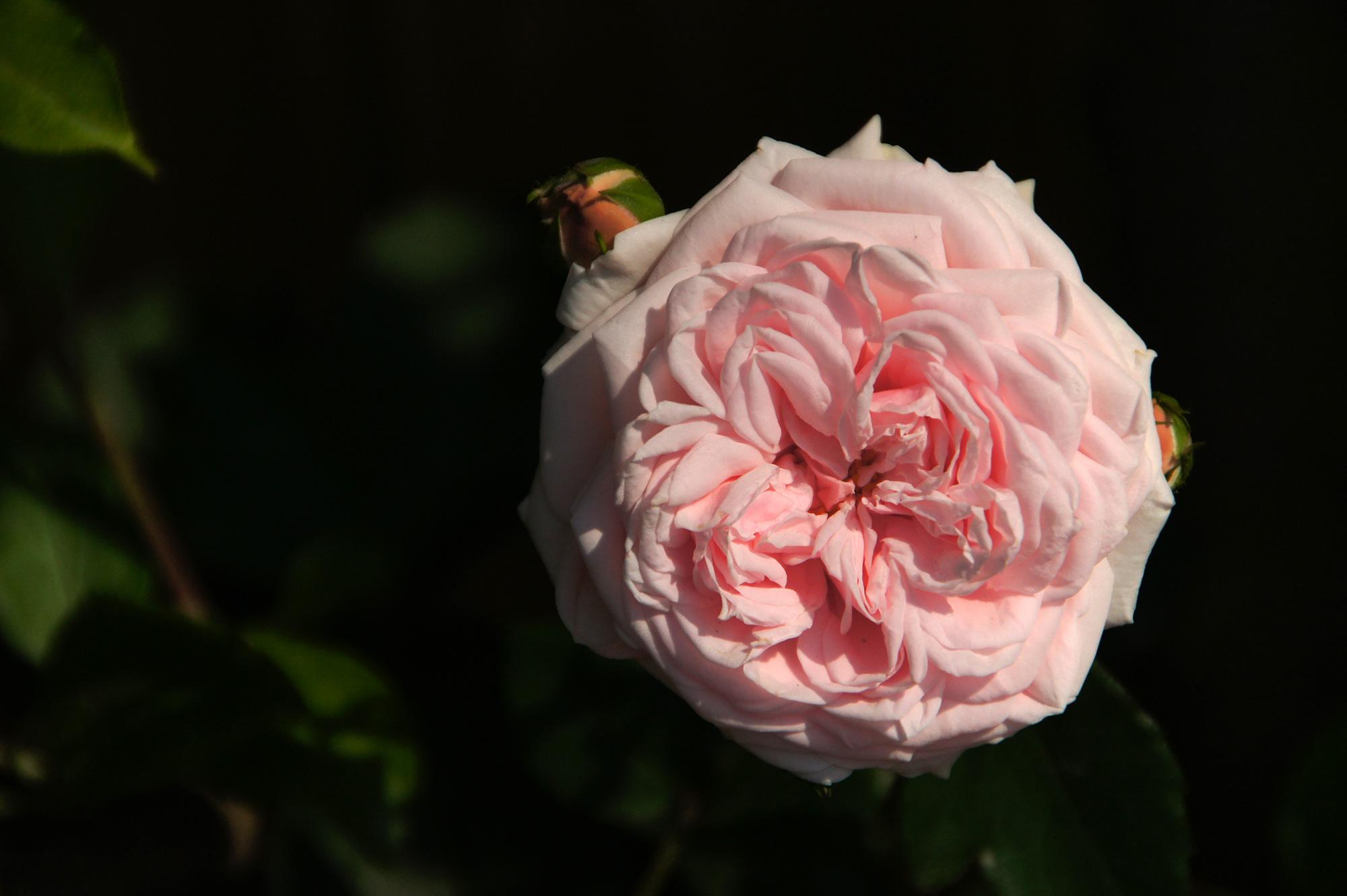 桃色のばらのフリー写真素材