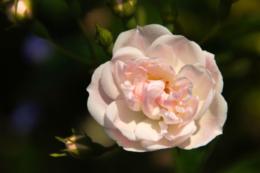 上品なピンク色のバラの花のフリー写真素材