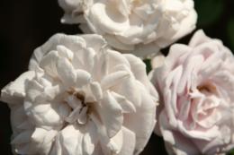 白いバラ三輪のフリー写真素材
