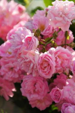 小さなたくさんのバラの花のフリー素材