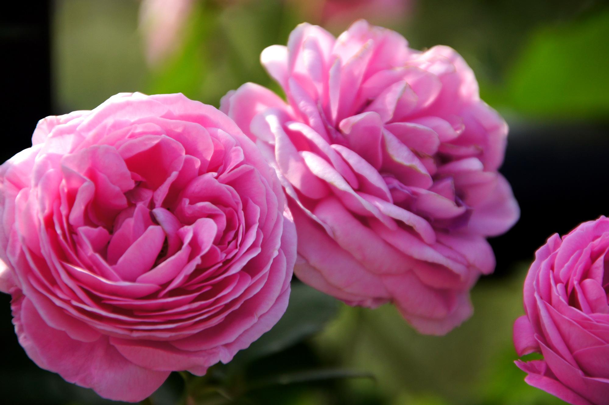 濃いピンク色のバラのフリー写真素材