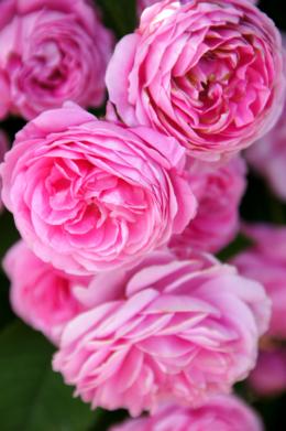 たくさんの美しい薔薇の花たちのフリー素材