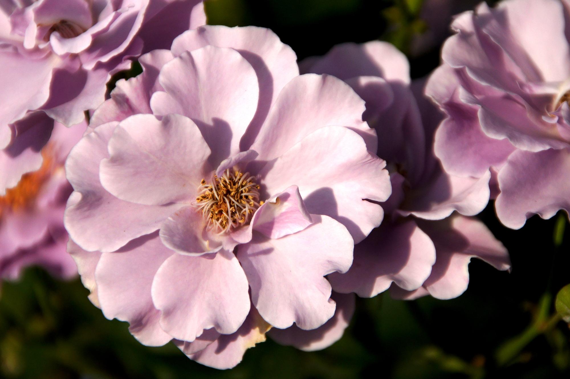 ピンク色の花のフリー写真素材