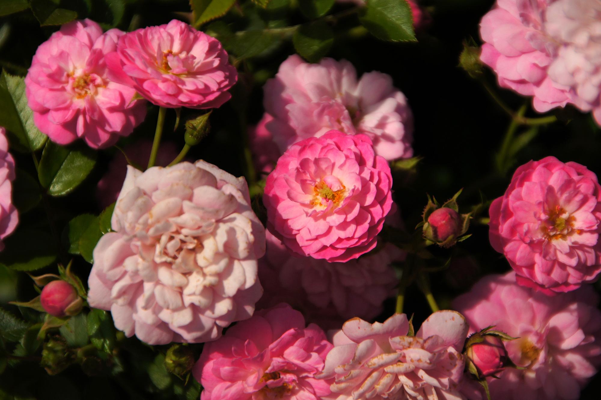 小さな薔薇のフリー写真素材