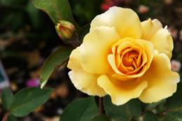 黄色い立派な薔薇の写真素材 フリー
