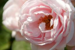 薄いピンク色の薔薇の写真素材 フリー