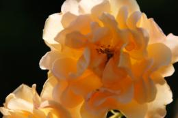 薄いオレンジ色の花の写真素材 フリー