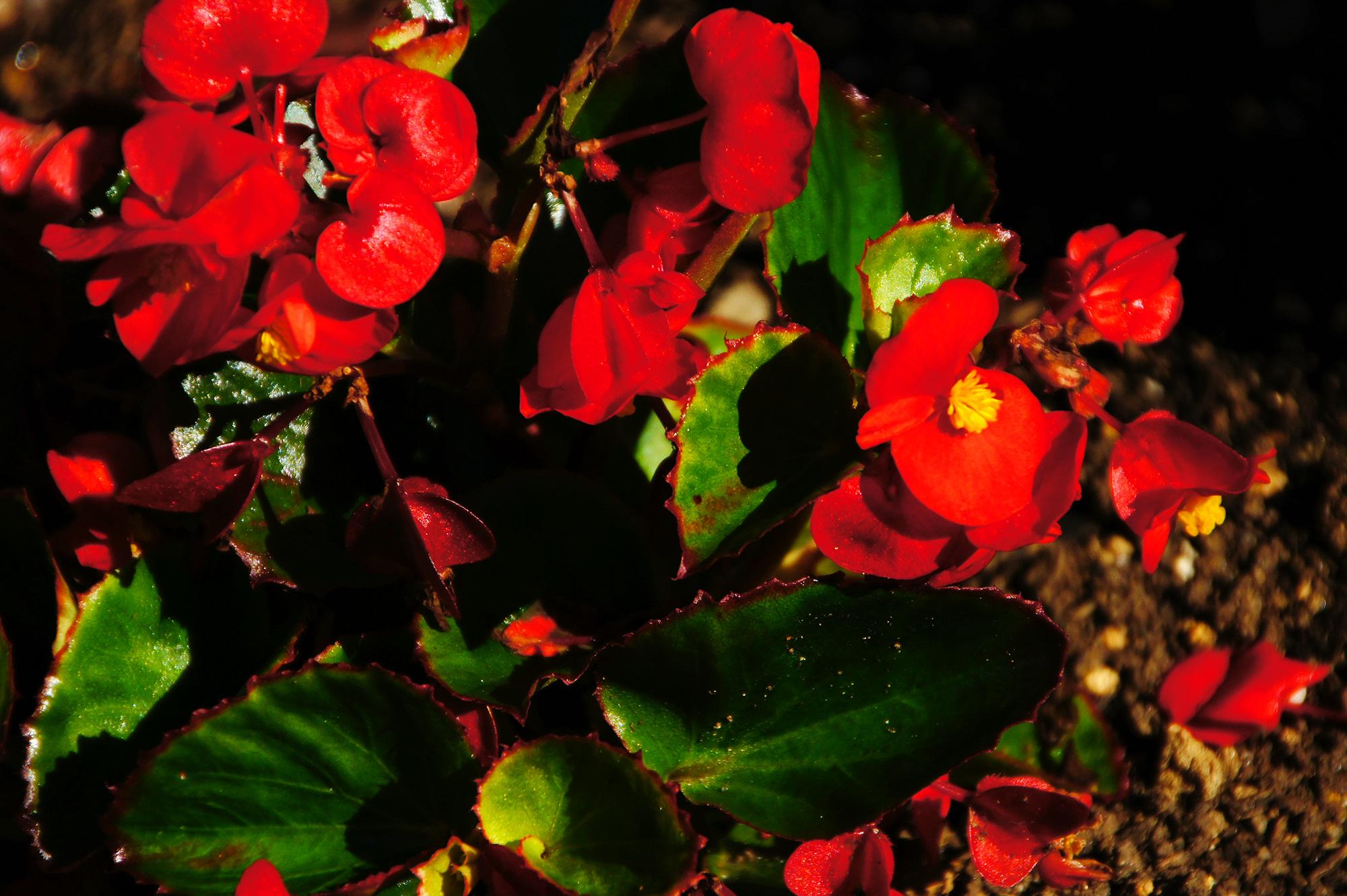 赤いベゴニアの写真素材(フリー)