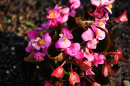 ピンクのベゴニアの写真素材フリー