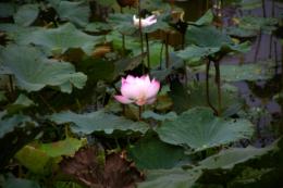 蓮の花の写真素材フリー