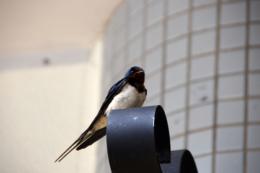 野生の燕の写真素材フリー