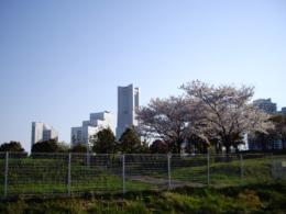 みなとみらいの桜のフリー写真素材
