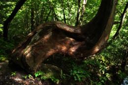 S字に曲がった木の幹のフリー素材