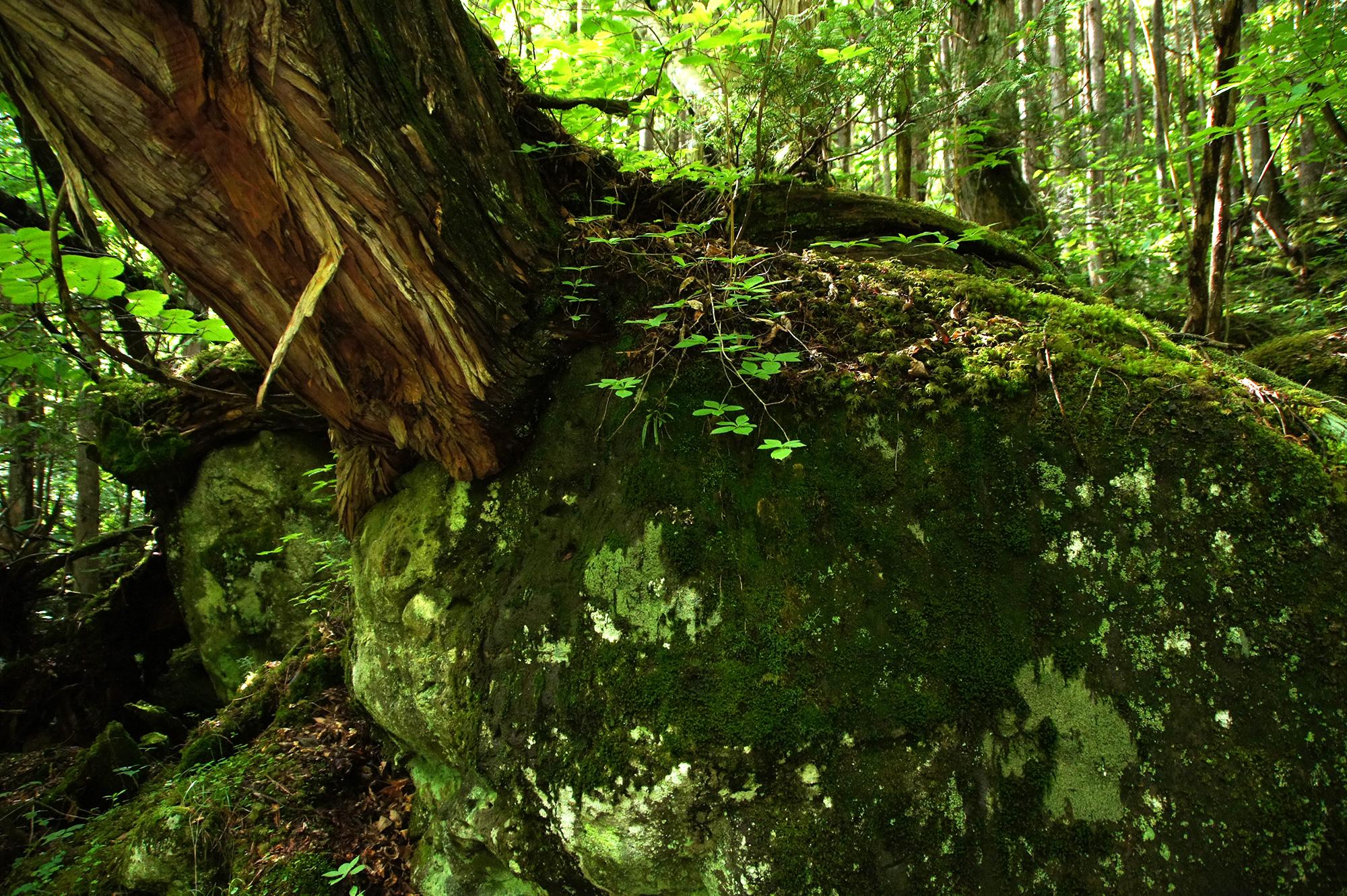岩からはえているような木の幹のフリー素材
