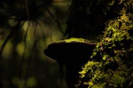 サルノコシカケのフリー写真素材