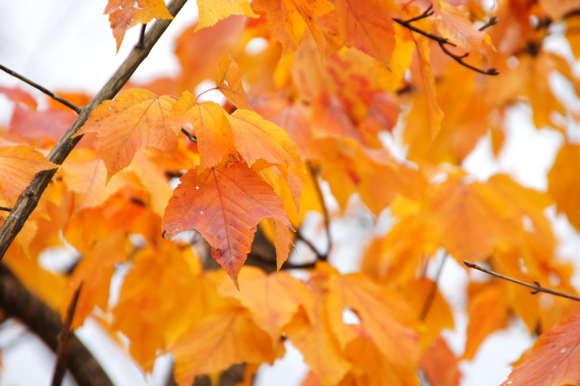 黄色い紅葉のフリー写真素材