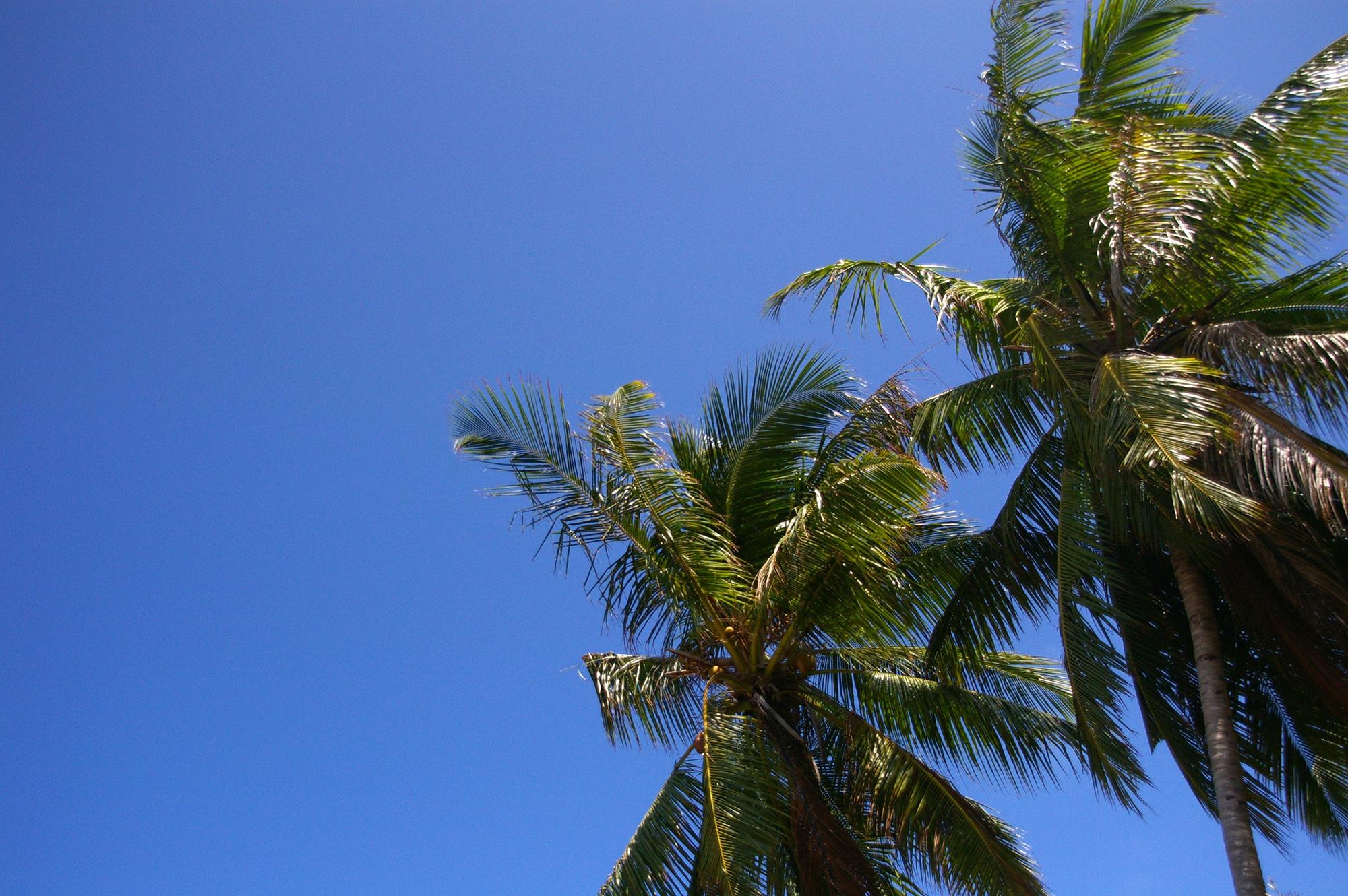 ヤシの木のフリー写真素材