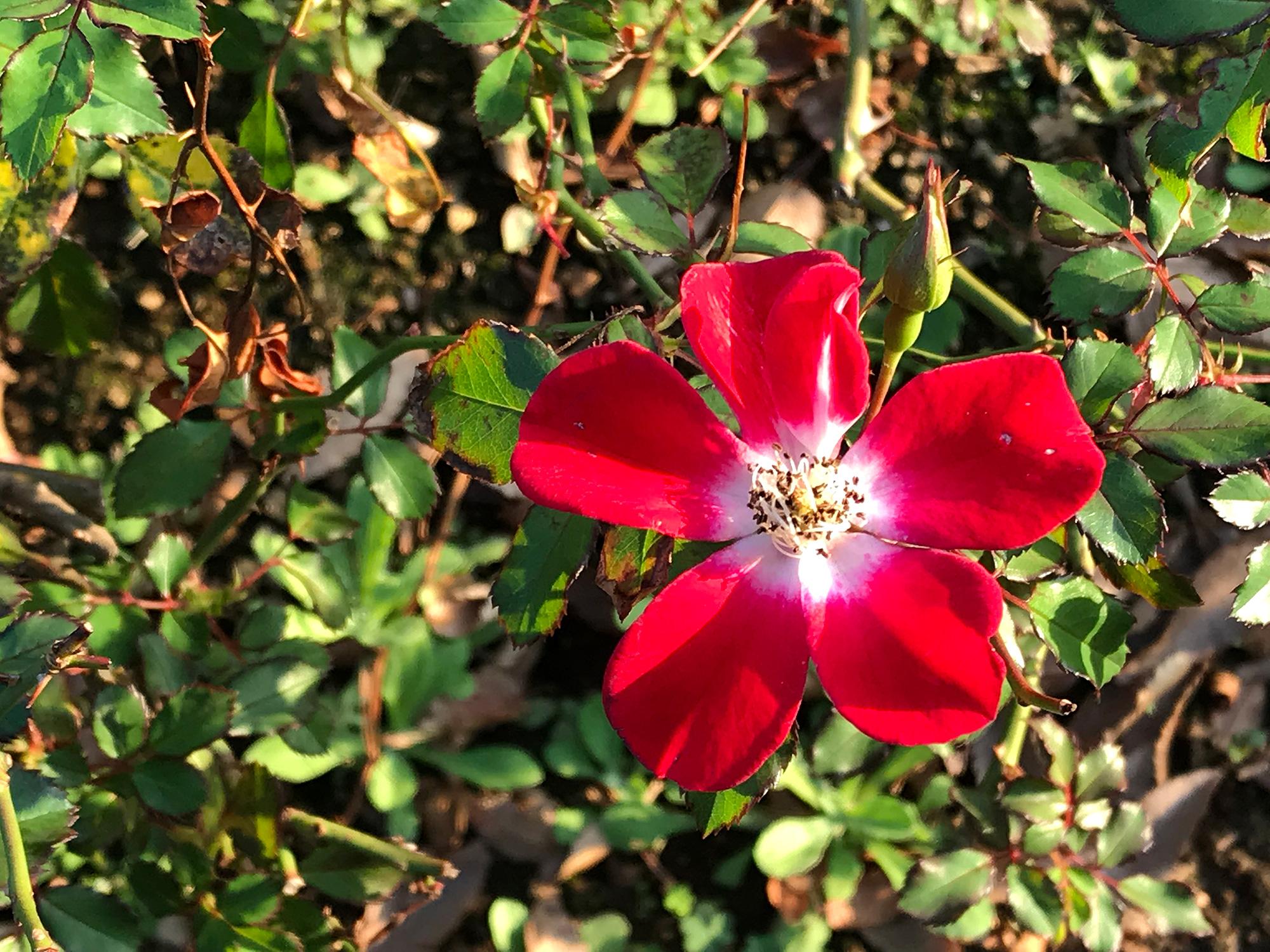 赤い花の無料写真素材