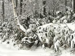 雪が積もった熊笹