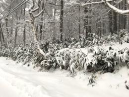 笹に積もった雪