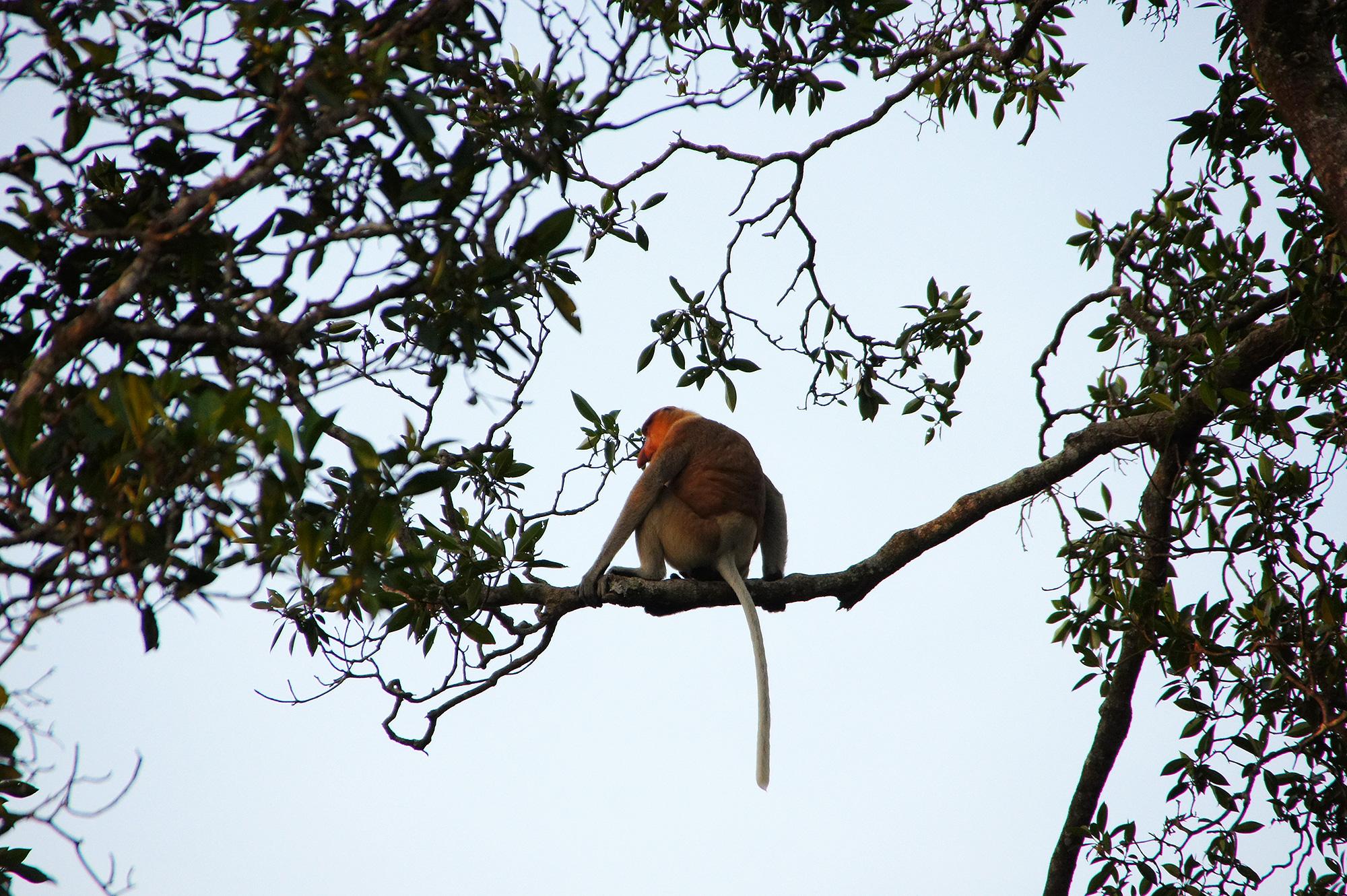 テング猿の写真素材(フリー)