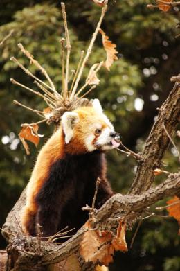 葉っぱを食べるレッサーパンダのフリー画像素材