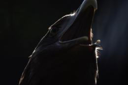 口を開けたオジロワシの写真素材(フリー)