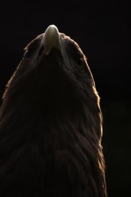 動物園のオジロワシの写真素材(フリー)