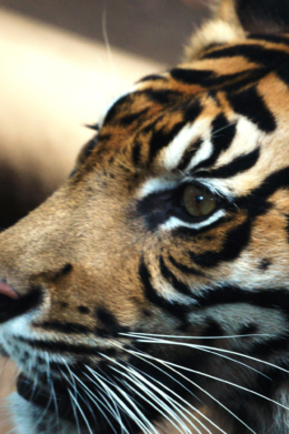 虎の顔のアップの無料写真素材