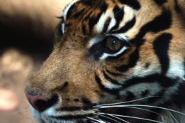 動物園のトラの無料写真素材