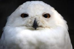 正面から見た白フクロウの写真の無料素材
