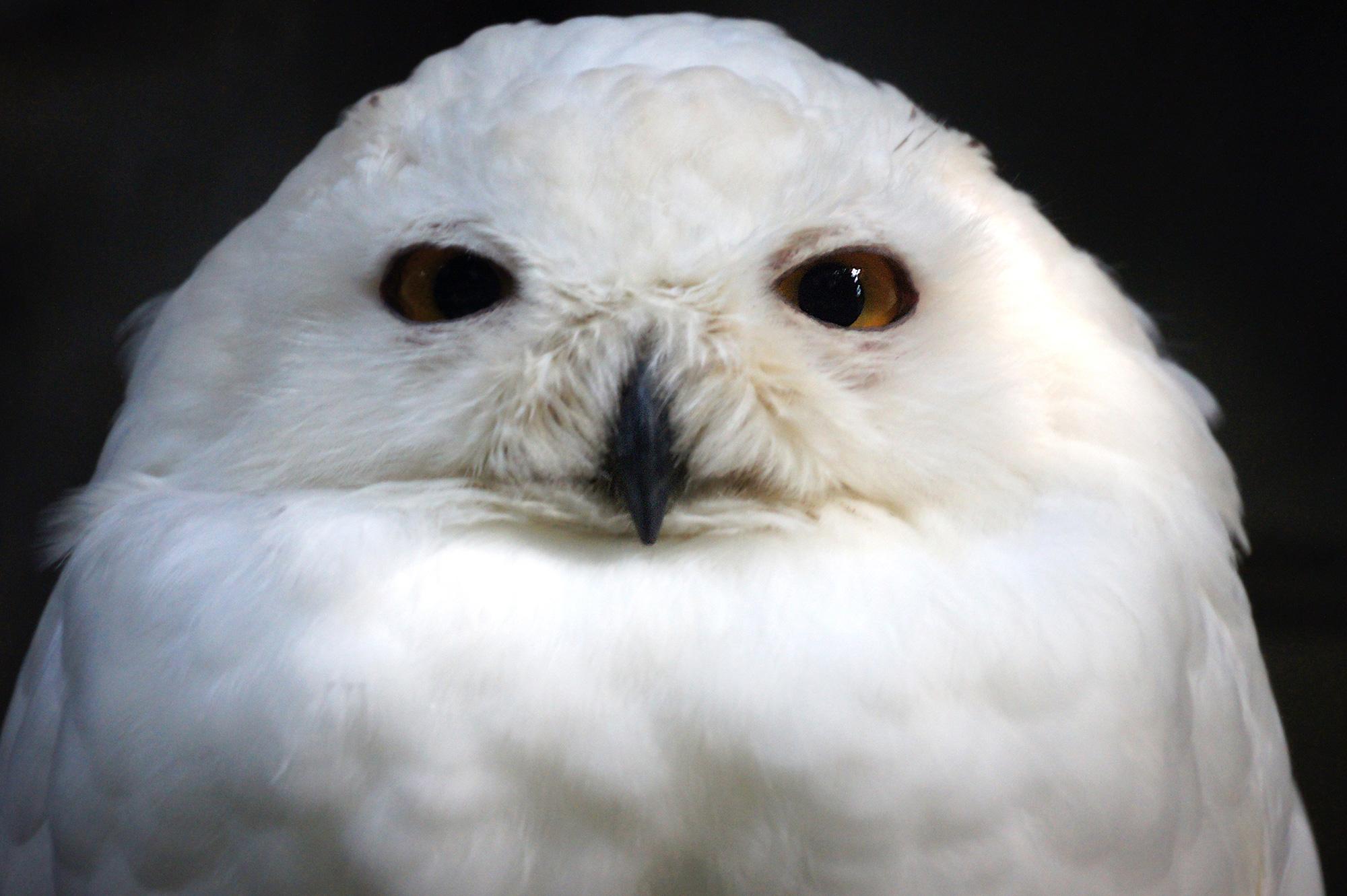 正面から見た白フクロウ