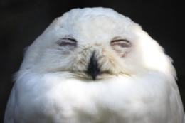 目をつぶっている白梟の写真の無料素材