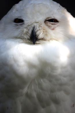 白梟のフサフサの胸毛の写真の無料素材