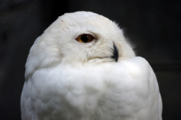 白フクロウの大きな目